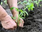 Tomato Transplanting Mistakes to Avoid When Setting Out Plants