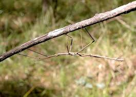 Stick and Leaf Insects - Order