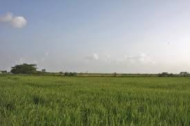 Rice fields in a flat land