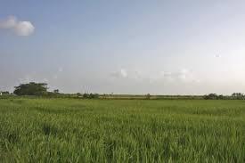 Rice fields in a flat land