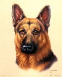 ... German shepherd ...
