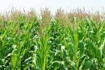 Viietnamese Agricultural Field At Daklak, Vietnam, Vast Maize ...