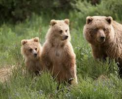 A grizzly bear family in