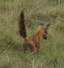 Ever hear of a fox-tail brush?