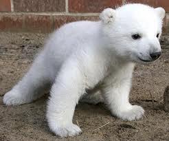 Polar bear cub Knut has