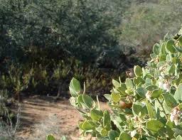 The Coastal Sage Scrub plant