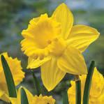 Van Bourgondien King Alfred Improved Trumpet Daffodil Bulbs 25 ...