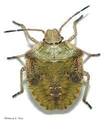 Brown stink bug nymph
