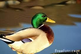 Picture of Duck - Free