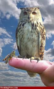 Pocket-sized owl