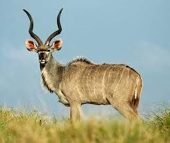 Kudu | Wild Facts