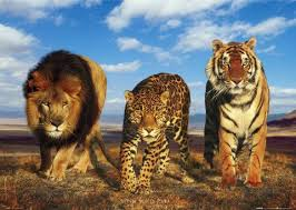 big cats Pictures, Images and