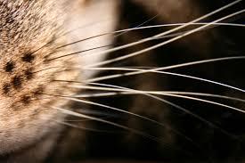 File:Whiskers.jpg - Wikimedia