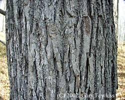 light gray bark,