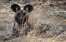 Photo: African wild dog