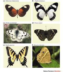 Evo–devo studies of butterfly