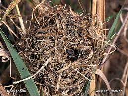 Harvest Mouse (nest)